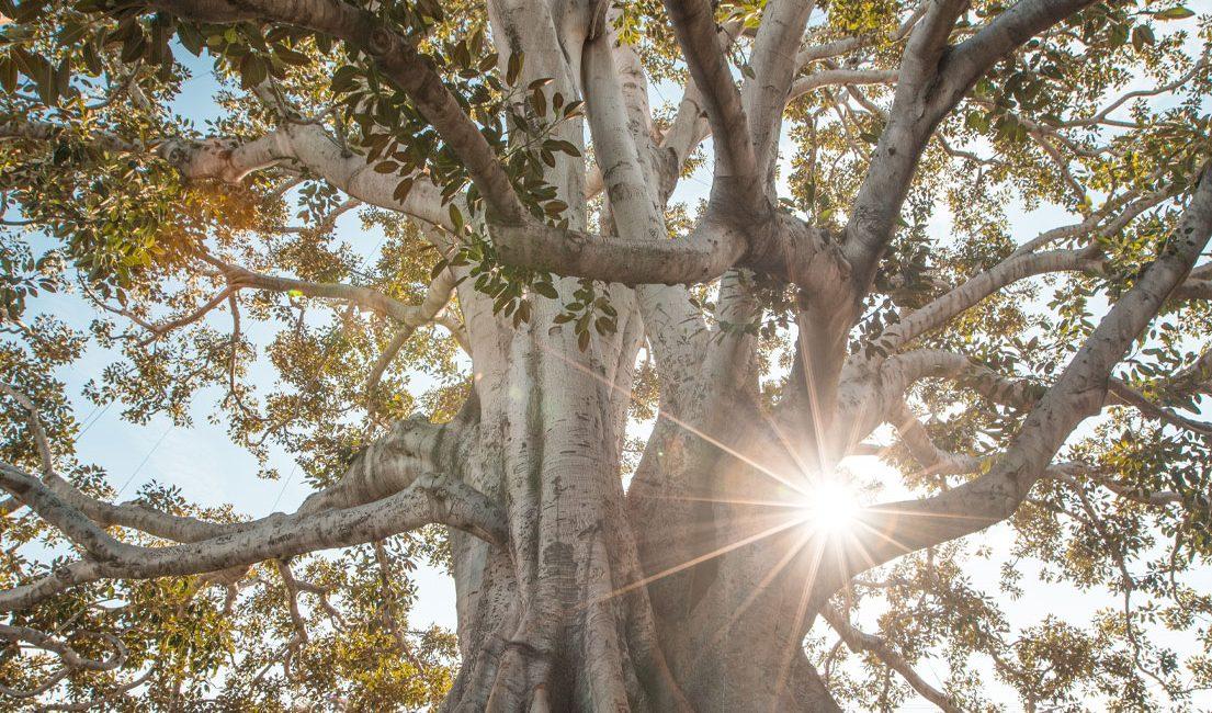 ayahuasca tree with sunlight